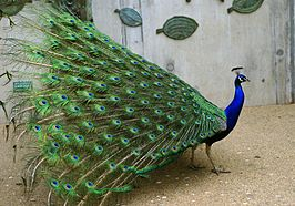 266px-Pavo_cristatus_(male)_-feathers-8a